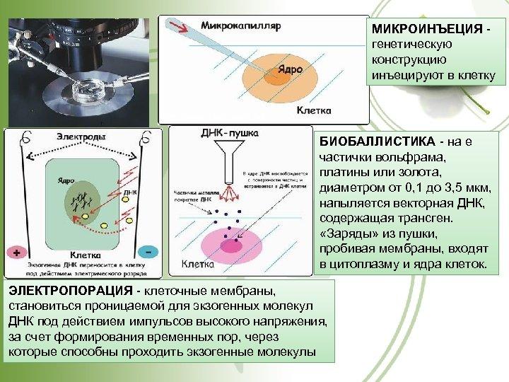 МИКРОИНЪЕЦИЯ генетическую конструкцию инъецируют в клетку http: //www. kkv 5. pisem. net БИОБАЛЛИСТИКА -