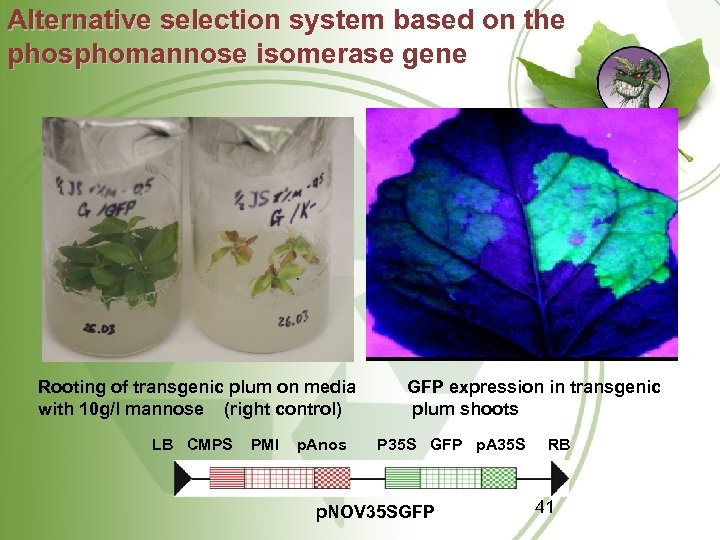 Alternative selection system based on the phosphomannose isomerase gene Rooting of transgenic plum on