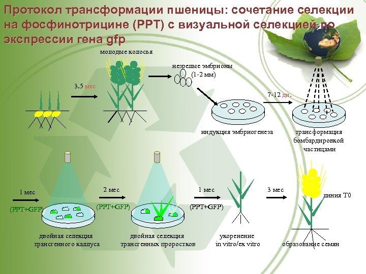 Протокол трансформации пшеницы: сочетание селекции на фосфинотрицине (РРТ) с визуальной селекцией по экспрессии гена
