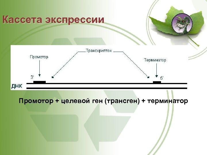 Кассета экспрессии Промотор + целевой ген (трансген) + терминатор