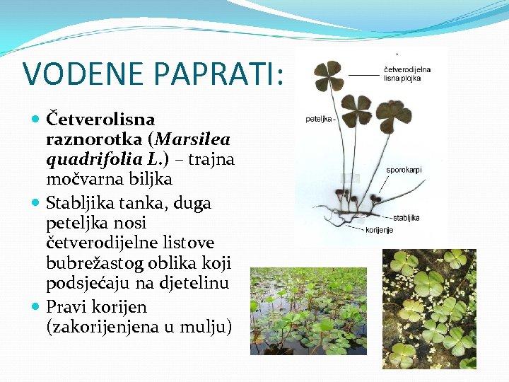 VODENE PAPRATI: Četverolisna raznorotka (Marsilea quadrifolia L. ) – trajna močvarna biljka Stabljika tanka,