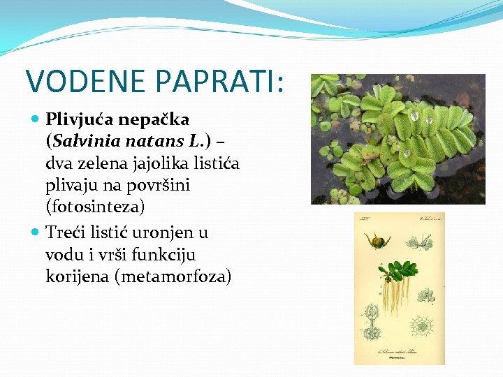 VODENE PAPRATI: Plivjuća nepačka (Salvinia natans L. ) – dva zelena jajolika listića plivaju