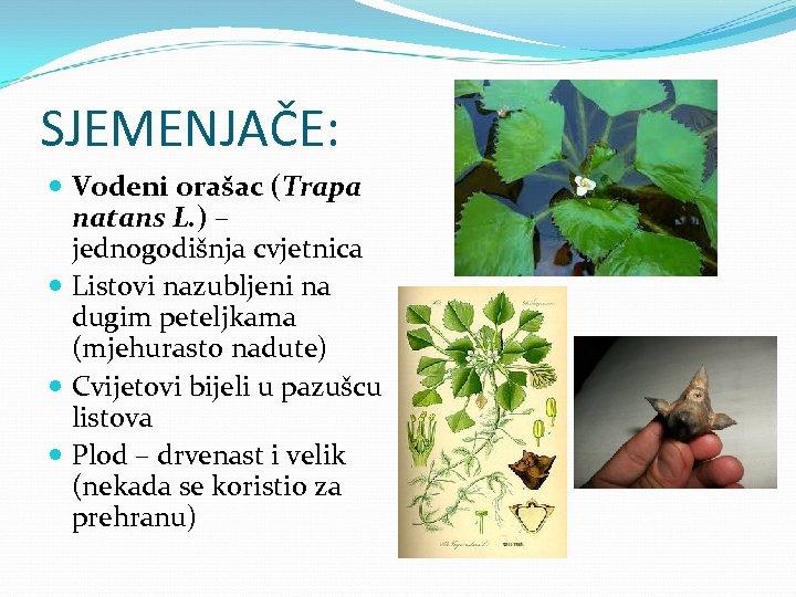 SJEMENJAČE: Vodeni orašac (Trapa natans L. ) – jednogodišnja cvjetnica Listovi nazubljeni na dugim