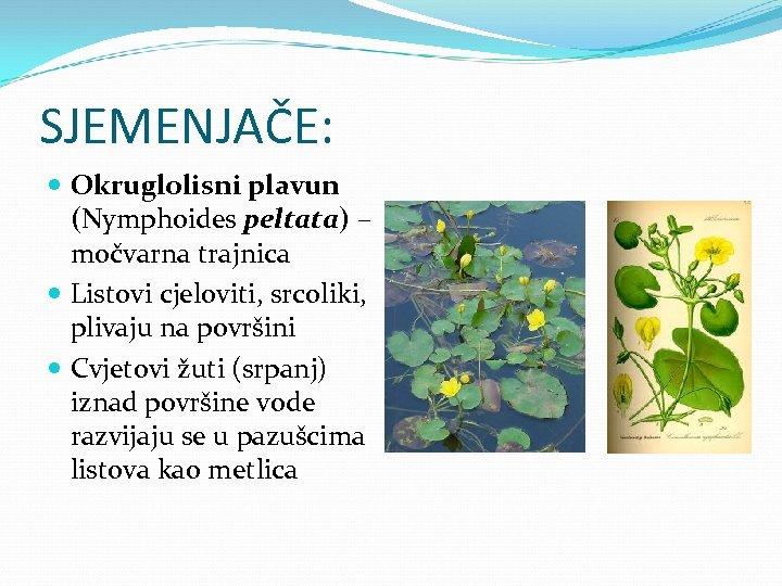 SJEMENJAČE: Okruglolisni plavun (Nymphoides peltata) – močvarna trajnica Listovi cjeloviti, srcoliki, plivaju na površini