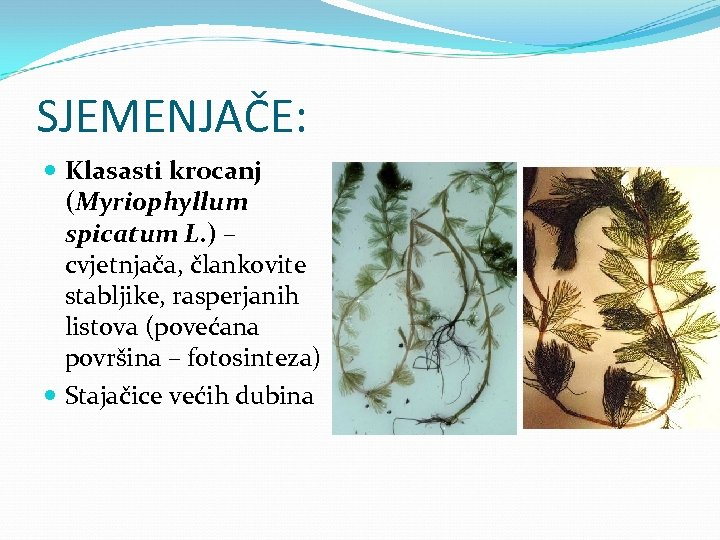 SJEMENJAČE: Klasasti krocanj (Myriophyllum spicatum L. ) – cvjetnjača, člankovite stabljike, rasperjanih listova (povećana