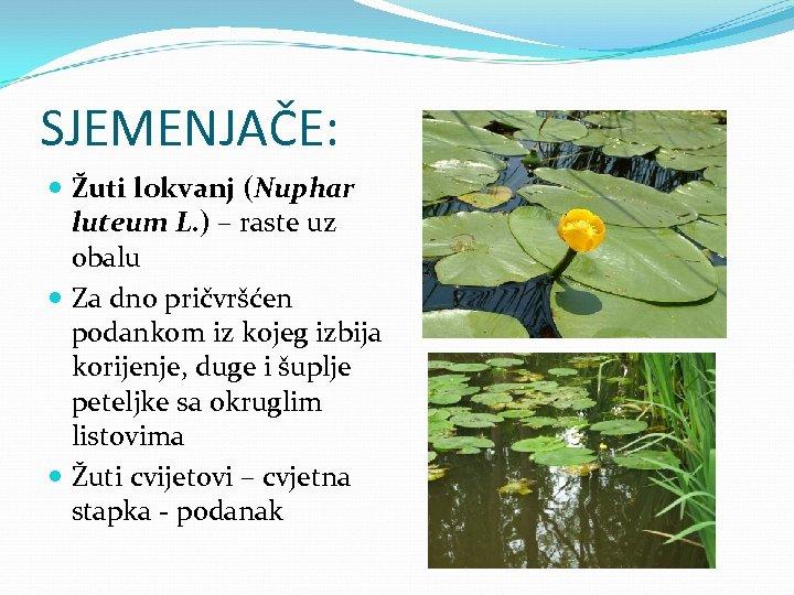 SJEMENJAČE: Žuti lokvanj (Nuphar luteum L. ) – raste uz obalu Za dno pričvršćen