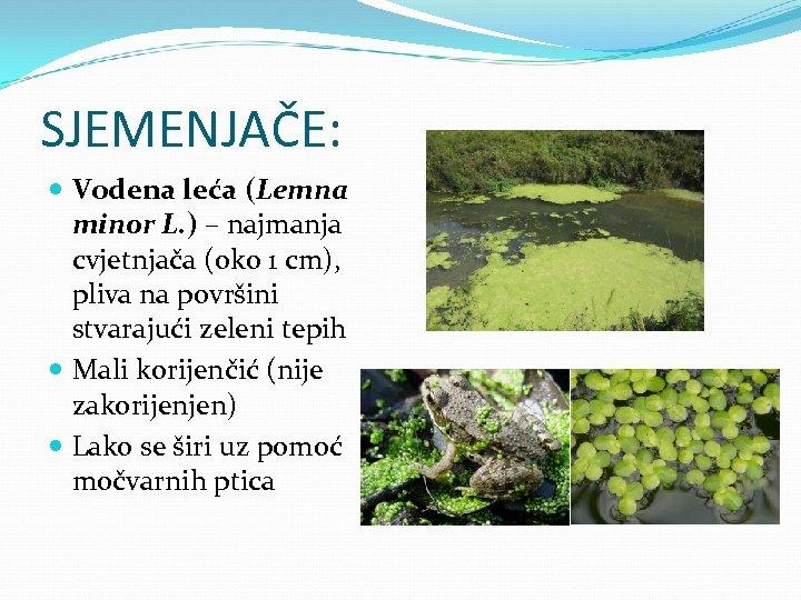 SJEMENJAČE: Vodena leća (Lemna minor L. ) – najmanja cvjetnjača (oko 1 cm), pliva