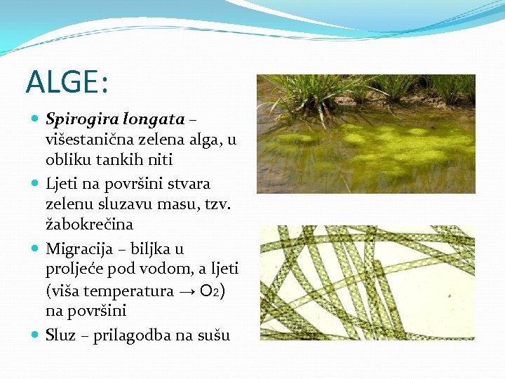 ALGE: Spirogira longata – višestanična zelena alga, u obliku tankih niti Ljeti na površini
