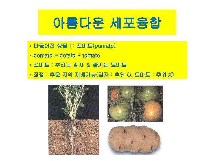 아름다운 세포융합 • 만들어진 생물Ⅰ: 포마토(pomato) • pomato = potato + tomato • 포마토