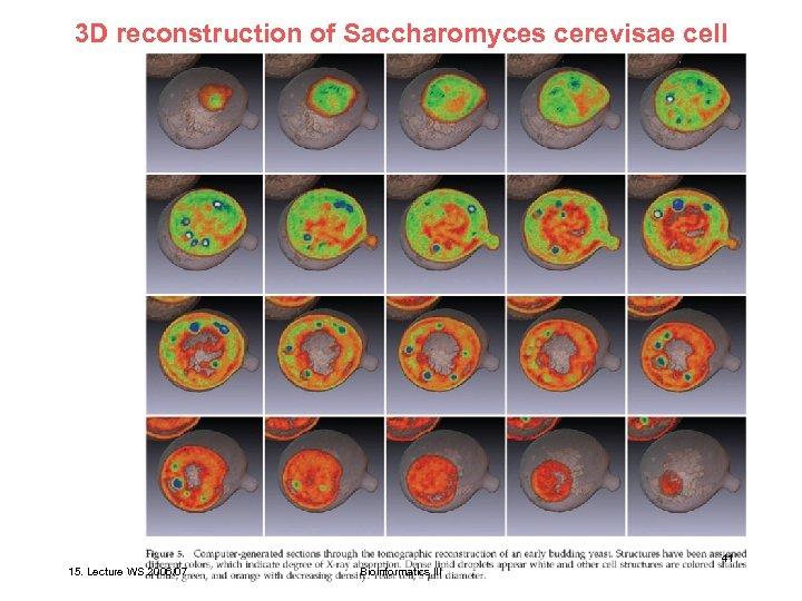 3 D reconstruction of Saccharomyces cerevisae cell Larabell et al. Mol. Biol. Cell 15,