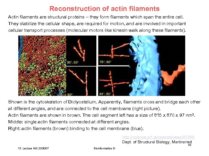 Reconstruction of actin filaments Actin filaments are structural proteins – they form filaments which