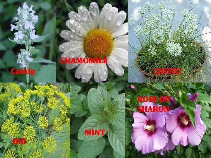 CHAMOMILE Catnip CHIVES ROSE OF SHARON Dill MINT