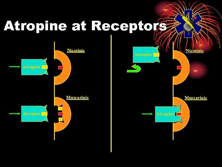 Atropine at Receptors Nicotinic Atropine Muscarinic Atropine