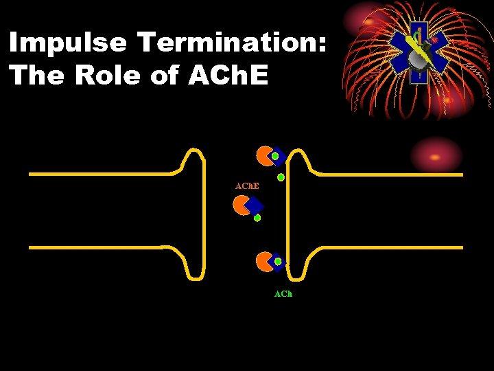 Impulse Termination: The Role of ACh. E ACh