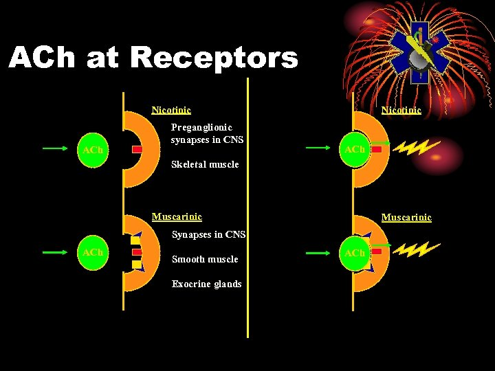 ACh at Receptors Nicotinic ACh Preganglionic synapses in CNS Nicotinic ACh Skeletal muscle Muscarinic