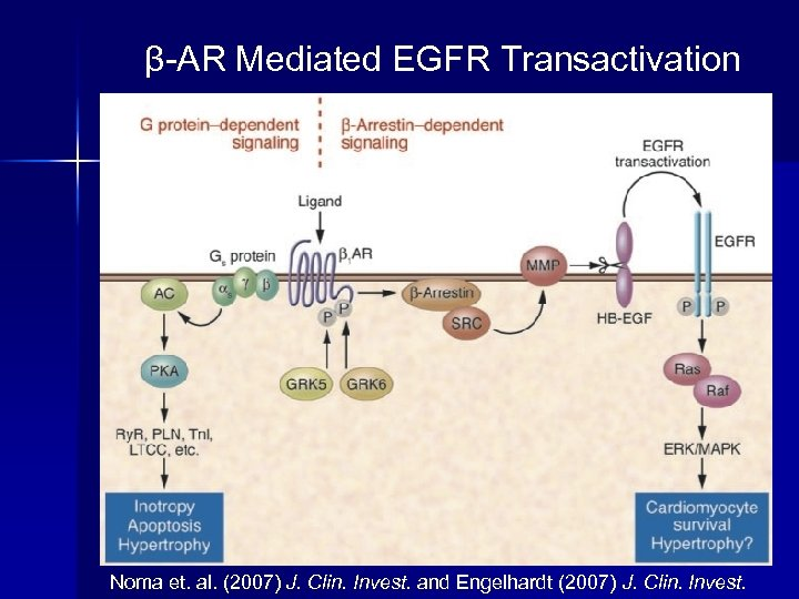 β-AR Mediated EGFR Transactivation Noma et. al. (2007) J. Clin. Invest. and Engelhardt (2007)