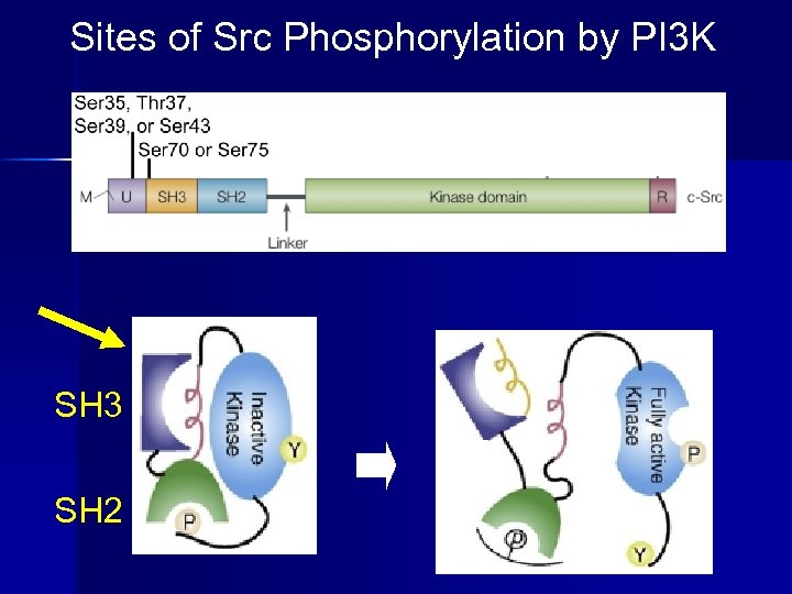 Sites of Src Phosphorylation by PI 3 K SH 3 SH 2