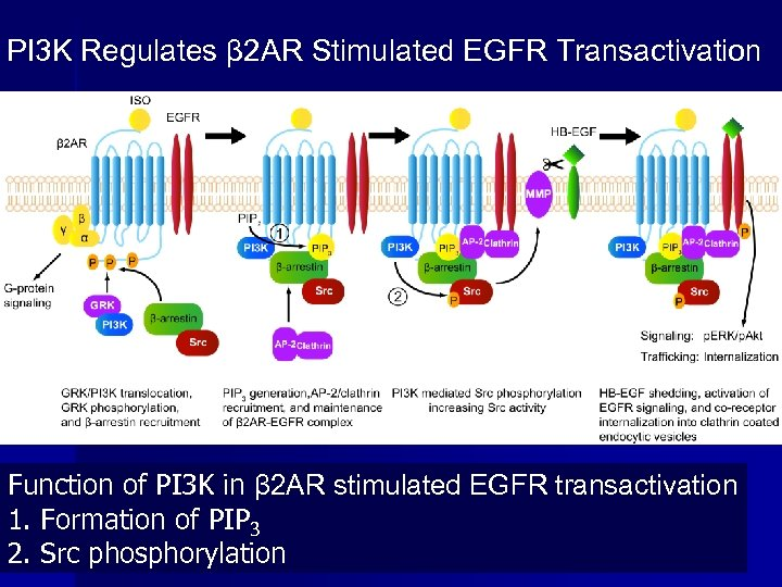 PI 3 K Regulates β 2 AR Stimulated EGFR Transactivation Function of PI 3
