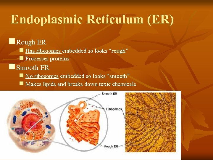 "Endoplasmic Reticulum (ER) n Rough ER n Has ribosomes embedded so looks ""rough"" n"