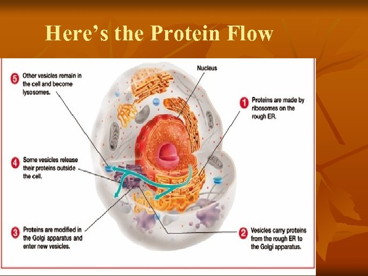 Here's the Protein Flow