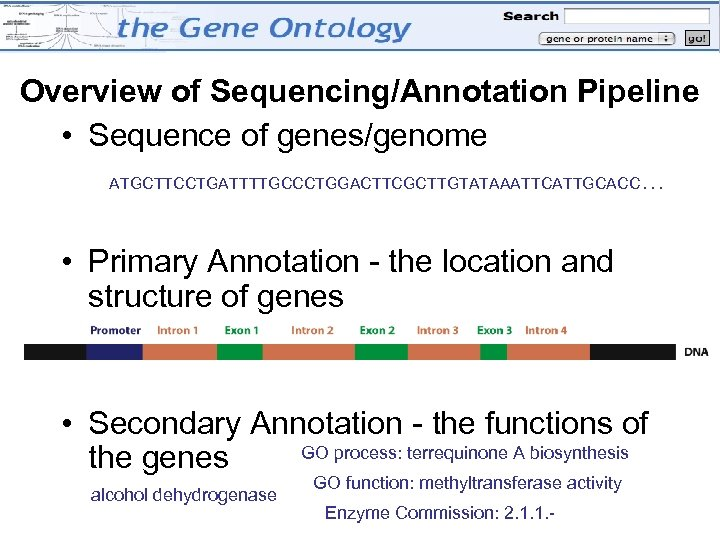 Overview of Sequencing/Annotation Pipeline • Sequence of genes/genome ATGCTTCCTGATTTTGCCCTGGACTTCGCTTGTATAAATTCATTGCACC … • Primary Annotation -