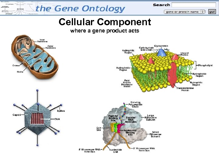 Cellular Component where a gene product acts