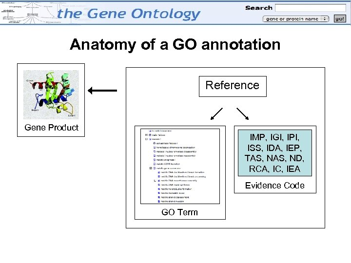 Anatomy of a GO annotation Reference Gene Product IMP, IGI, IPI, ISS, IDA, IEP,