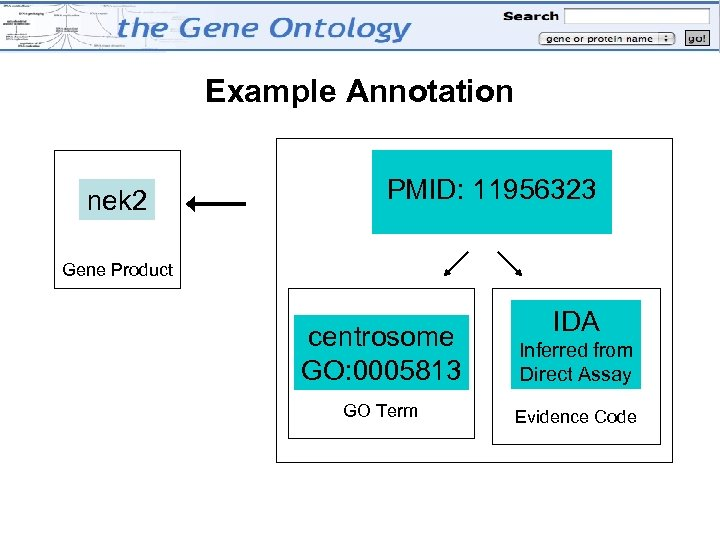 Example Annotation nek 2 PMID: 11956323 Reference Gene Product IDA centrosome GO: 0005813 Inferred