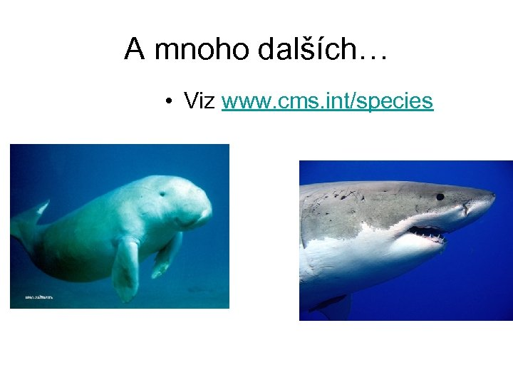 A mnoho dalších… • Viz www. cms. int/species
