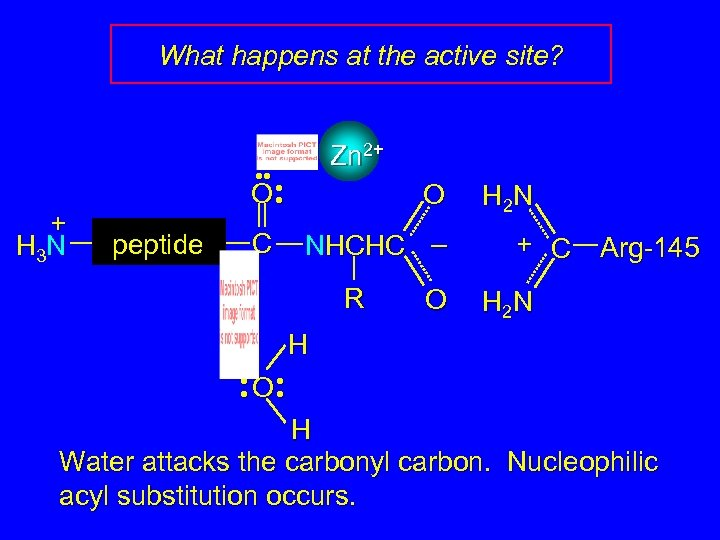 What happens at the active site? + H 3 N Zn 2+ • •