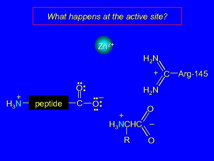 What happens at the active site? Zn 2+ H 2 N + C +