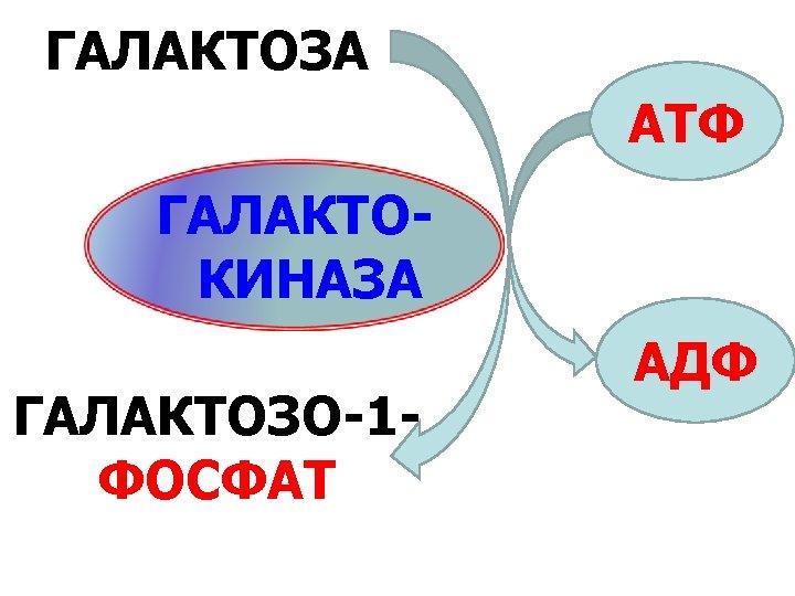ГАЛАКТОЗА АТФ ГАЛАКТОКИНАЗА ГАЛАКТОЗО-1 ФОСФАТ АДФ
