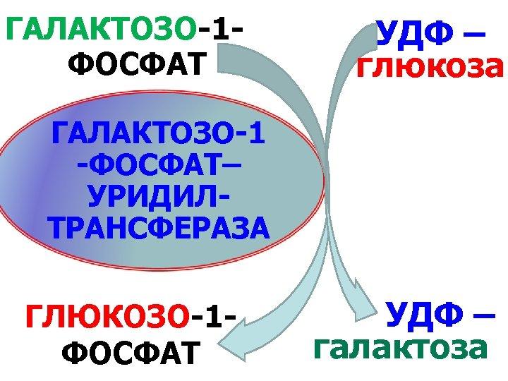 ГАЛАКТОЗО-1 ФОСФАТ УДФ – глюкоза ГАЛАКТОЗО-1 -ФОСФАТ– УРИДИЛТРАНСФЕРАЗА ГЛЮКОЗО-1 ФОСФАТ УДФ – галактоза