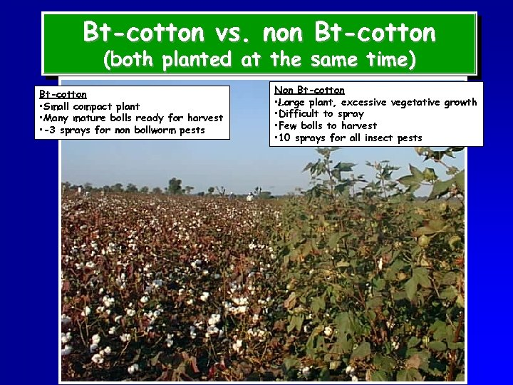 Bt-cotton vs. non Bt-cotton (both planted at the same time) Bt-cotton • Small compact