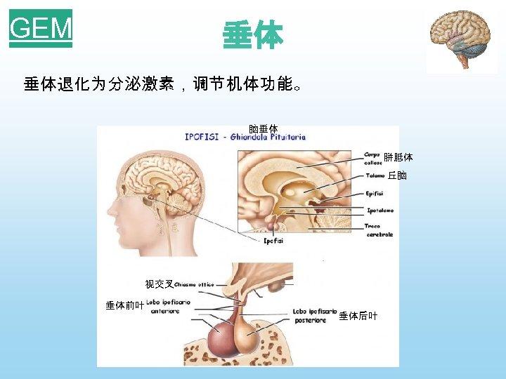 GEM 垂体 垂体退化为分泌激素,调节机体功能。 脑垂体 胼胝体 丘脑 视交叉 垂体前叶 垂体后叶
