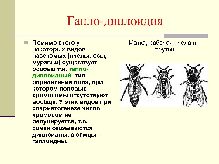 Гапло-диплоидия n Помимо этого у некоторых видов насекомых (пчелы, осы, муравьи) существует особый т.