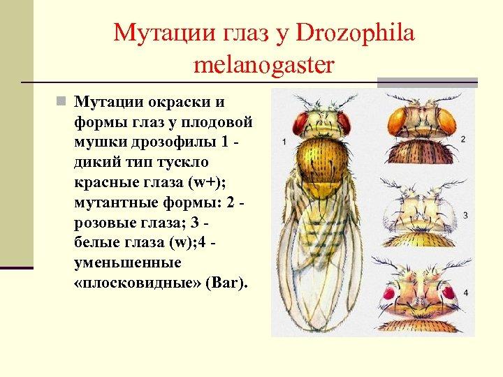 Мутации глаз у Drozophila melanogaster n Мутации окраски и формы глаз у плодовой мушки