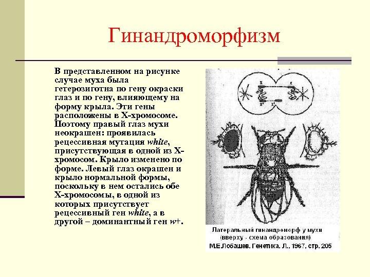 Гинандроморфизм В представленном на рисунке случае муха была гетерозиготна по гену окраски глаз и
