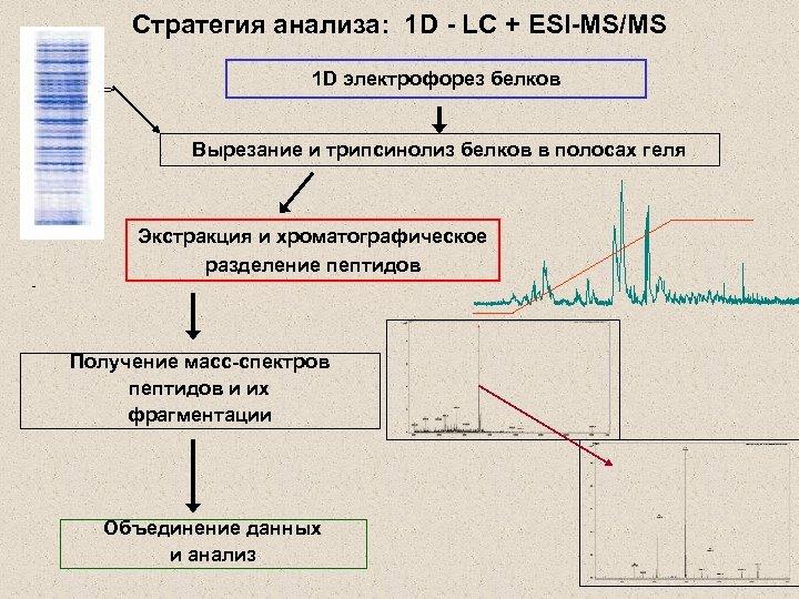 Стратегия анализа: 1 D - LC + ESI-MS/MS 1 D электрофорез белков Вырезание и