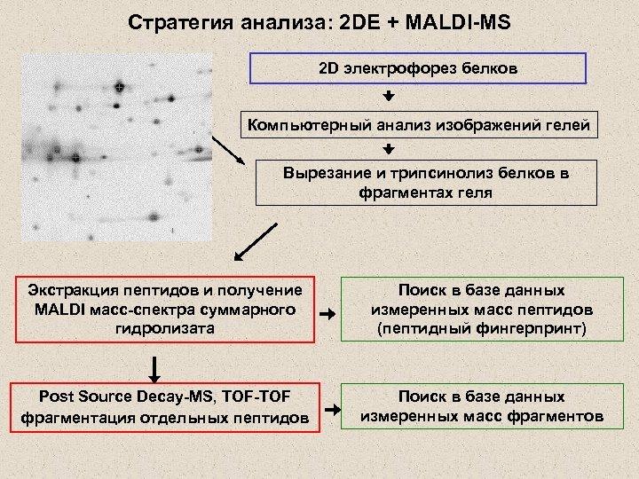 Стратегия анализа: 2 DE + MALDI-MS 2 D электрофорез белков Компьютерный анализ изображений гелей