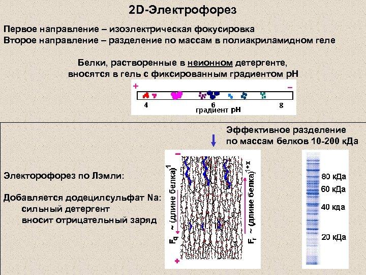 2 D-Электрофорез Первое направление – изоэлектрическая фокусировка Второе направление – разделение по массам в