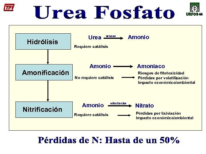 Hidrólisis Amonificación Nitrificación Urea ureasa Amonio Requiere catálisis Amonio No requiere catálisis Amonio Requiere