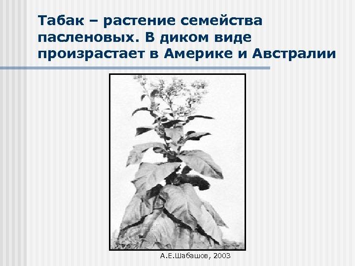 Табак – растение семейства пасленовых. В диком виде произрастает в Америке и Австралии А.