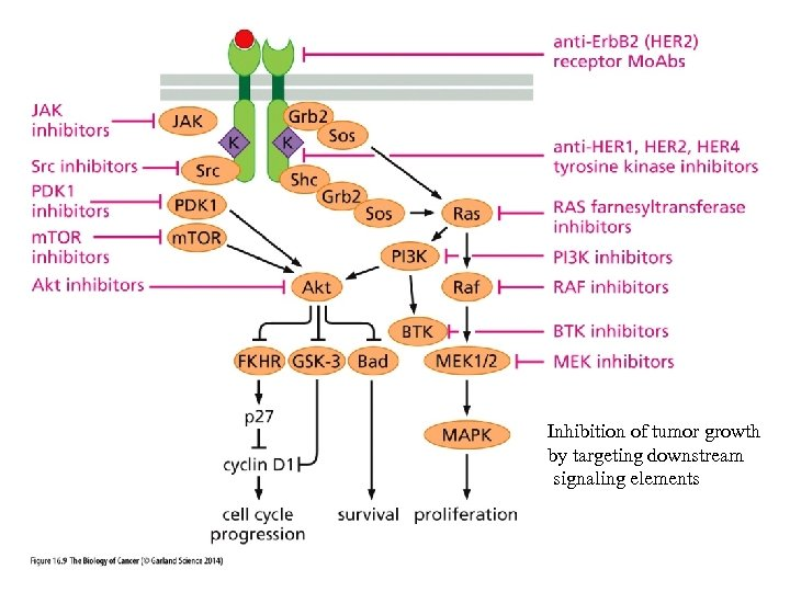 Maintenance or Activation of p 53 Inhibition of tumor growth by targeting downstream signaling