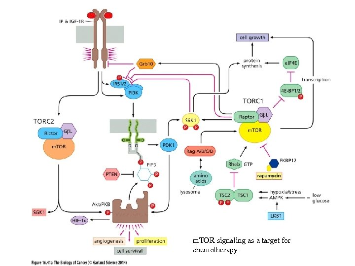 m. TOR signaling as a target for chemotherapy