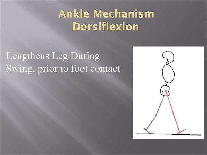Ankle Mechanism Dorsiflexion Lengthens Leg During Swing, prior to foot contact