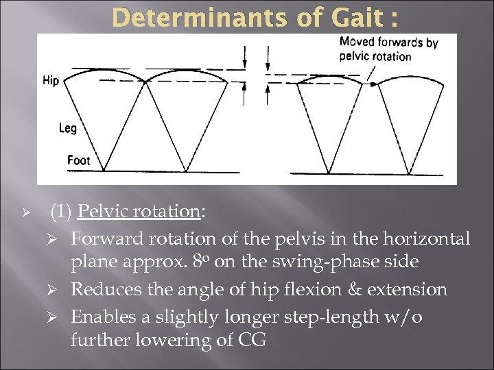 Determinants of Gait : Ø (1) Pelvic rotation: Ø Forward rotation of the pelvis