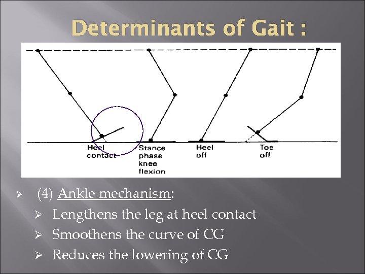 Determinants of Gait : Ø (4) Ankle mechanism: Ø Lengthens the leg at heel