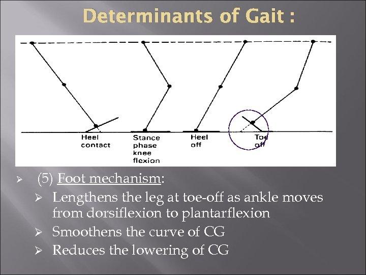 Determinants of Gait : Ø (5) Foot mechanism: Ø Lengthens the leg at toe-off