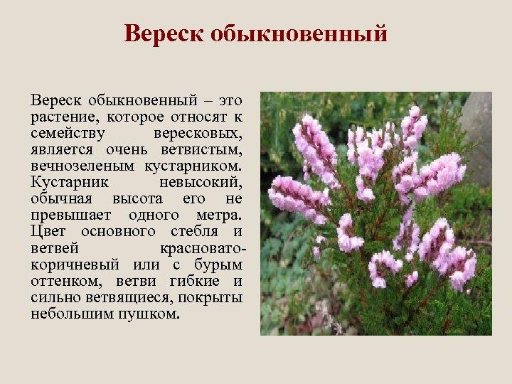 Вереск обыкновенный – это растение, которое относят к семейству вересковых, является очень ветвистым, вечнозеленым